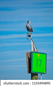 Brown pelican sitting on top of green channel marker number 17 in the intracoastal waterway in florida, usa