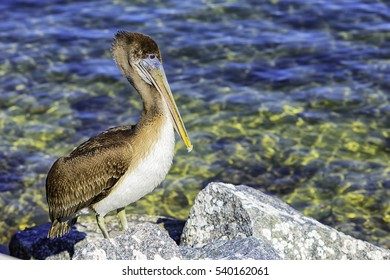 Brown pelican standing on rock near the boat launch area in St. Andrews State Park, Panama City Beach, Florida, USA