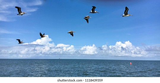 Brown Pelicans Flying Over Gulf of Mexico