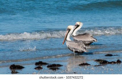 Brown Pelicans on the shore of the Gulf of Mexico