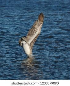 Brown Pelicans, (Pelecanus occidentalis), diving into the water for food.