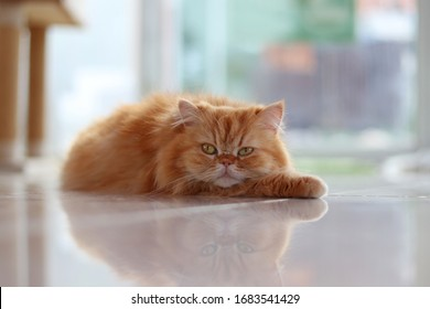The brown persian cat crouched on the floor with its face resting on its legs.