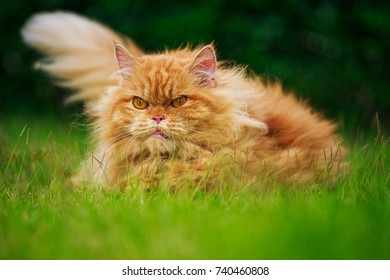 brown Persian cat on the green grass field