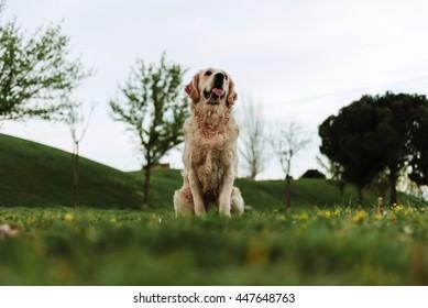 Brown pet dog labrador on grass in park