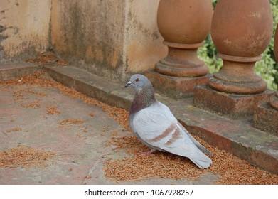Brown Pigeon in Park