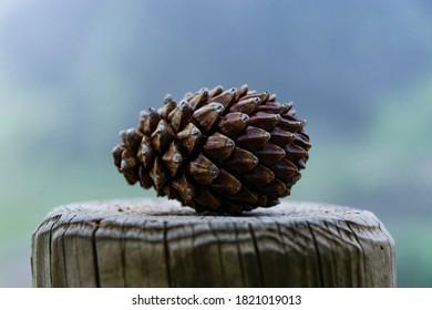 cerca del cono de pino marrón