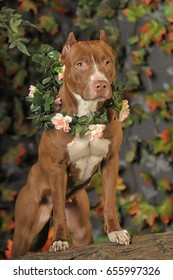 Brown pit bull terrier in a wreath of flowers