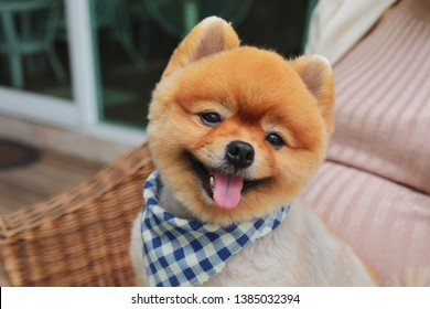 brown pomeranian dog happy smile of small animal, cute pet grooming face round short hairstyle