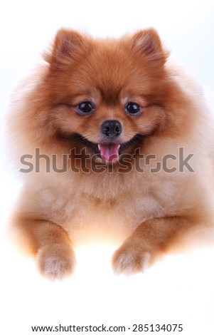 Brown Pomeranian Dog Isolated On White Stock Photo Edit Now