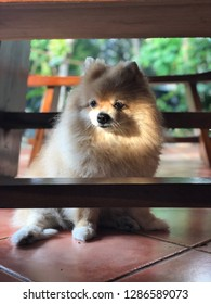 A brown pomeranian dog is sitting on the floor below the table, her name is Chloe