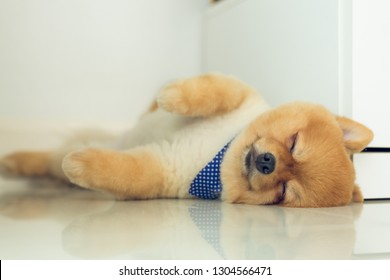 brown pomeranian puppy dog grooming short hair style, cute pet sleep in home with clean white tile floor