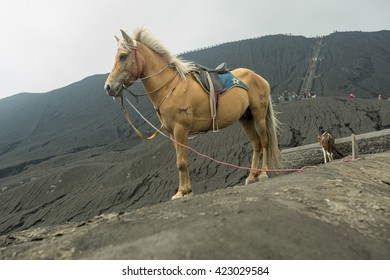 Brown pony standing on a hill watching the caldera beneath. Near Volcano Bromo, Java, Indonesia