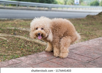 Brown poodle dog pooping defecate on walk way in the park
