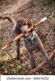Brown poodle standing in the springtime forest ready for action with a stick.