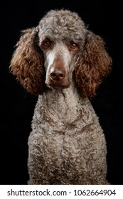 Brown poodle in studio with black background