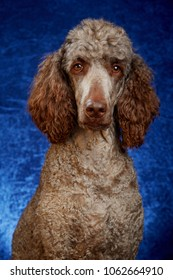 Brown poodle in studio portrait with blue background