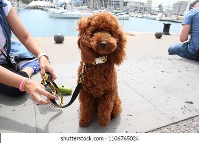 Brown Poodle very cute