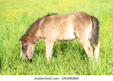 Brown pottok horse eating grass in the wild. Basque country.