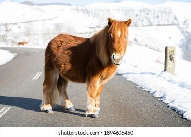 Pottok brun ou poney sur une route, en hiver. Pays basque.