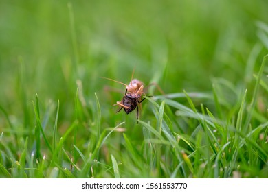 Brown praying mantis eating a fly in grass. European mantis standing on green grass eats instect.