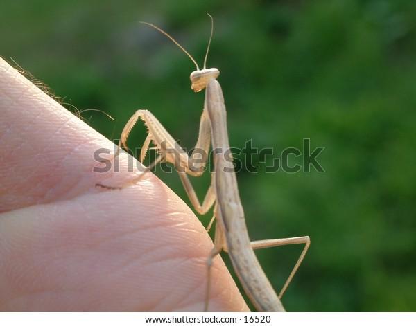 brown praying mantis on my palm keeping an eye on me