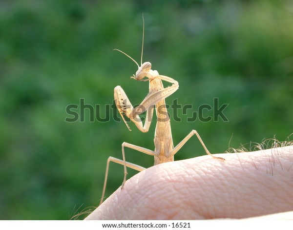 brown praying mantis on my palm cleaning tips of its front legs