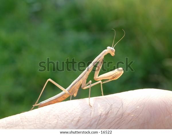 brown praying mantis on my finger praying and keeping an eye on me