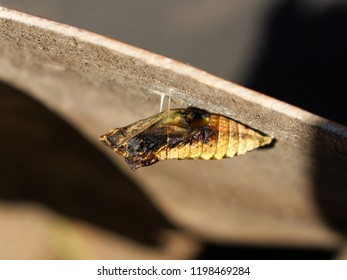 Brown pupa of Papilio machaon;  someone ate its insides