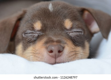 Brown puppy chihuahua sleeps