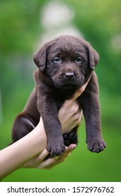 Brown puppy dog breed Labrador Retriever on human hands. Labrador puppy on green grass.