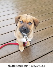 brown puppy dog with red leash on wood deck