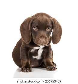Brown puppy sitting with a white background