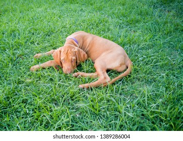 a brown puppy small vizsla dog resting on the grass at the backyard looking at the camera