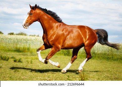 Brown purebred horse  on grass during summer time.