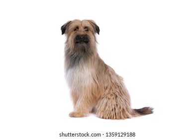 brown Pyrenean Shepherd in front of a white background