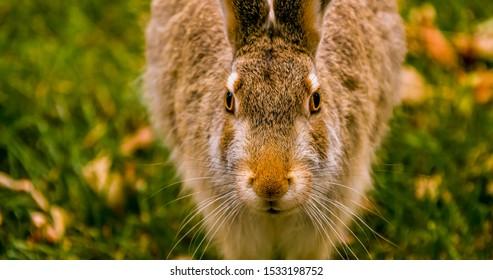 Brown Rabbit on a green grass lawn