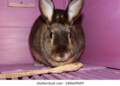 A brown rabbit sits in a purple hutch with its chew stick.