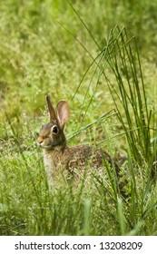 A brown rabbit is sitting in tall grass alert that someone is near.