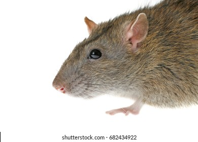 brown rat head isolated