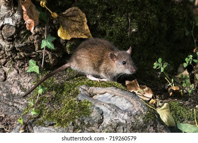 Brown Rat, Norway Rat, Rats, Rattus norvegicus