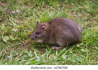 Brown Rat Portrait on Grass