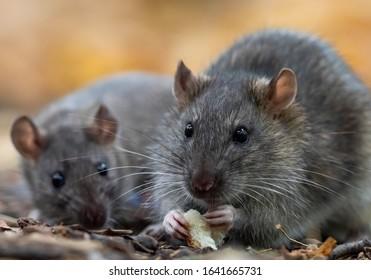 The brown rat (Rattus norvegicus) close up.