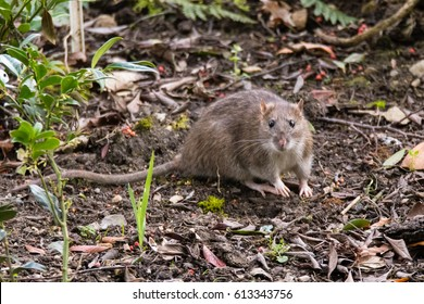 Brown rat (Rattus norvegicus) looking at camera. Common rodent foraging amongst plants in botanic garden, with impressive whiskers