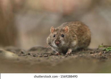 brown rat (Rattus norvegicus) is one of the best known and most common rats. Wildlife scene from nature.