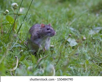 Brown rat (Rattus norvegicus) Potkan obecny
