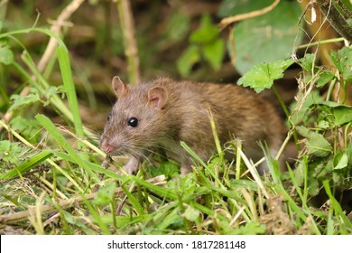 Brown rat, Rattus norvegicus, sneaking out of a hedge