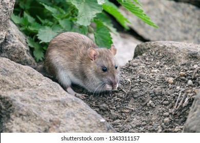 Brown rat sitting on a stones with green nettle in background. Wild street or sewer rat (Rattus norvegicus) in nature. Cute gray rodent holding food in little fingers.