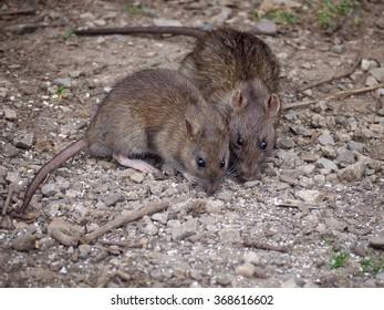 Brown rats