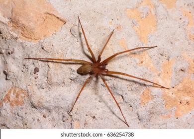 Brown recluse spider in habitat.