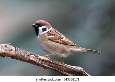 Brown red bird on the branch